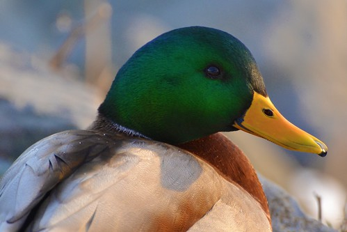 Bird - Duck - Mallard by blmiers2