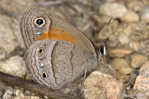 brown butterfly texas satyr insecta cavernsofsonora falseeyes brushfoot redsatyr megistorubricata lepidopterabutterfliesmoths photographerjaycossey