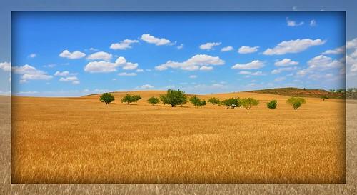 Cerezos, melocotoneros y ciruelos en un campo de cebada