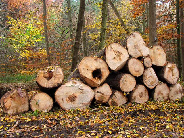 Sawed off Tree Trunks in Autumn Forest