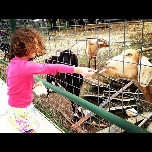 Feeding the goats at Big Hoss BBQ