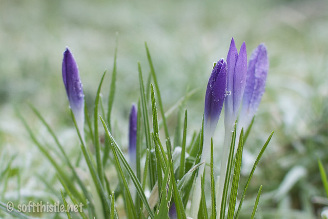 frosted crocus 38/366