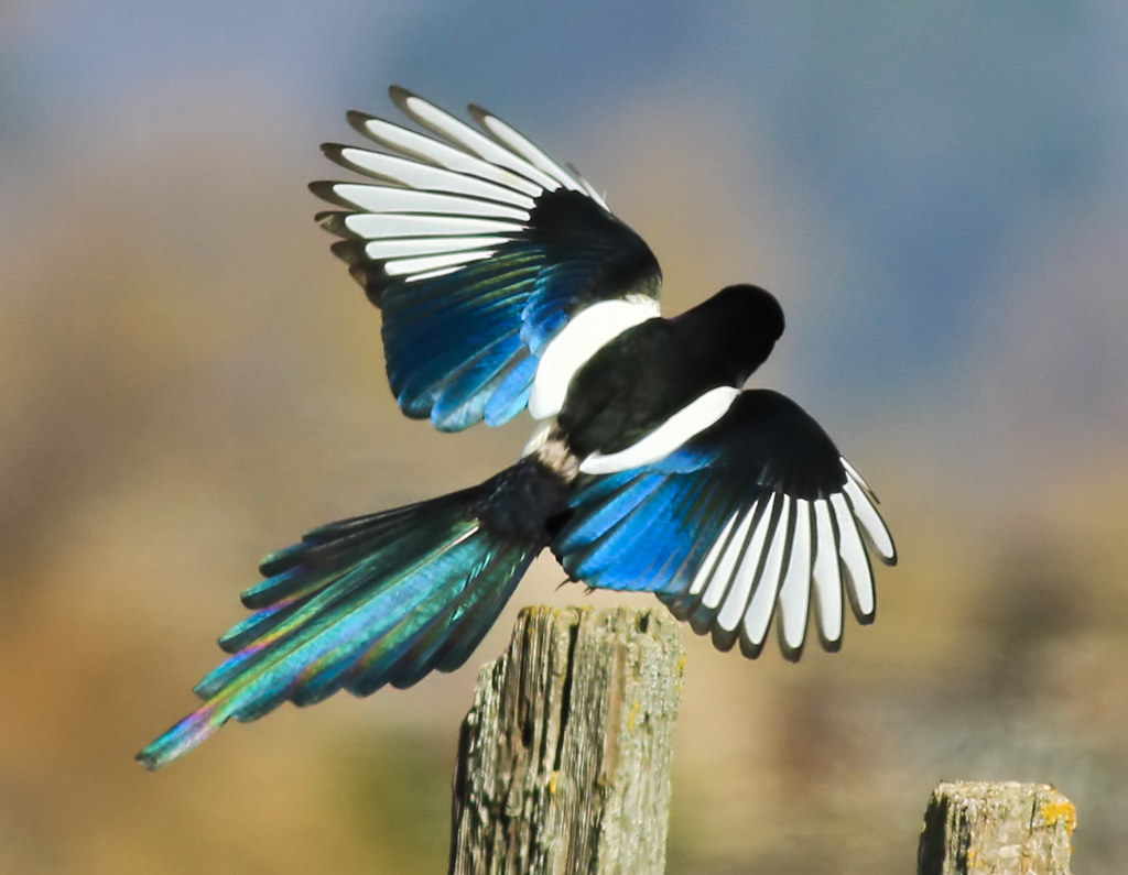 yellow-billed magpie - Coyote Valley Open Space Preserve