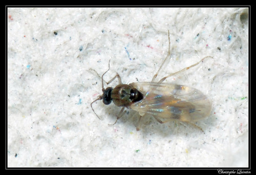 Culicoides groupe obsoletus