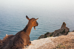 Goat sitting on a cliff by the sea