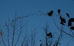 crow(0.0), animal migration(1.0), animal(1.0), branch(1.0), silhouette(1.0), flock(1.0), bird migration(1.0), sky(1.0), bird(1.0),