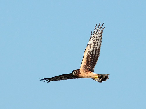 Northern Harrier 2-20111127