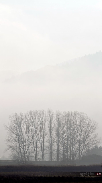 trees_in_fog
