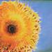 Fuzzy-Face Sunflower 20 x 16
