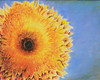 Fuzzy-Face Sunflower 20 x 16