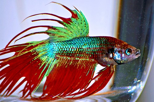 Crowntail betta fish by toydogs