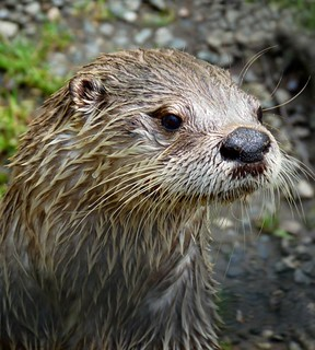 Otter at Buckfast Butterfly Farm Devon 3