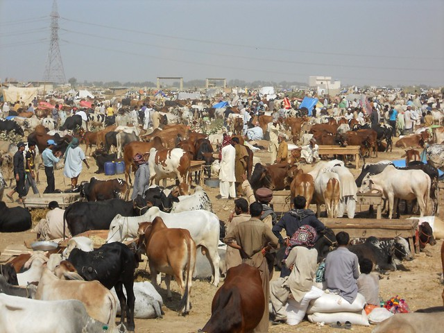 Pakistan COW MANDI http://www.flickr.com/photos/yusuf__a_dadabhoy/6499305947/