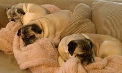 puppy(0.0), dog breed(1.0), animal(1.0), dog(1.0), pet(1.0), carnivoran(1.0), bullmastiff(1.0), pug(1.0),