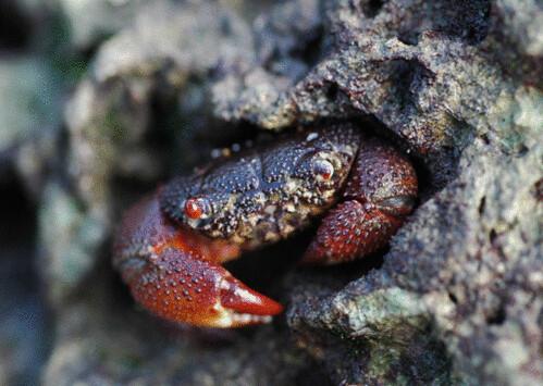 藻礁孕育多種生物,圖為司氏酋婦蟹(Eriphia smithi)是藻礁最搶眼的優勢蟹種。(圖片來源:劉靜榆)