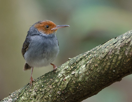 Ashy Tailorbird (3)
