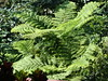 Scaly Tree Ferns - Photo (c) Jardin Boricua, some rights reserved (CC BY-NC)