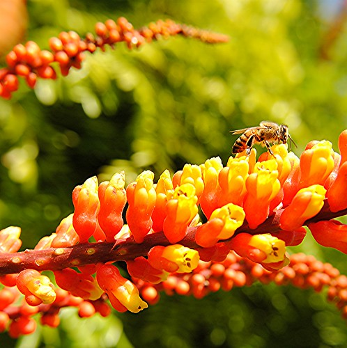 Honey bee sips sunny Candy Corn Plant by jungle mama