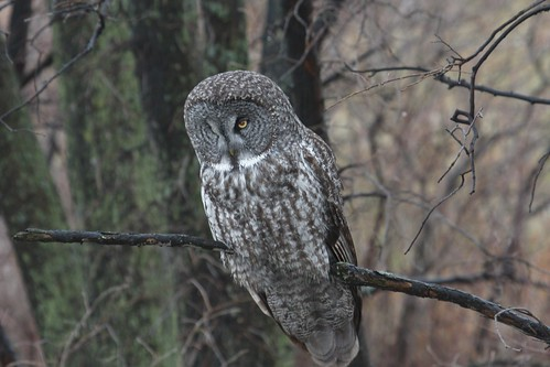 Great Grey Owl by ricmcarthur