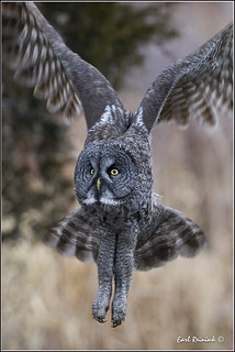 Great Gray Owl (20111227-1334)