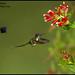 Marvelous Spatuletail (Loddigesia mirabilis) by Glenn Bartley - www.glennbartley.com
