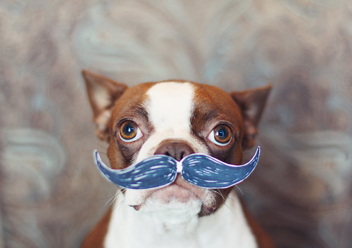 boston terrier mustache