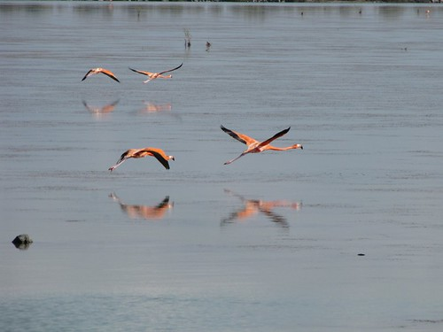 Flamingos! #6 (Inagua: Day 2)