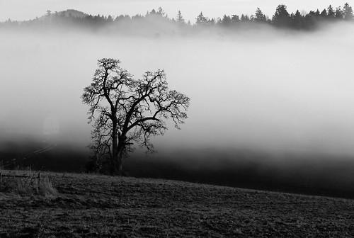 bw mist tree nature misty fog landscape evening lowlight day bc farm vancouverisland sidney