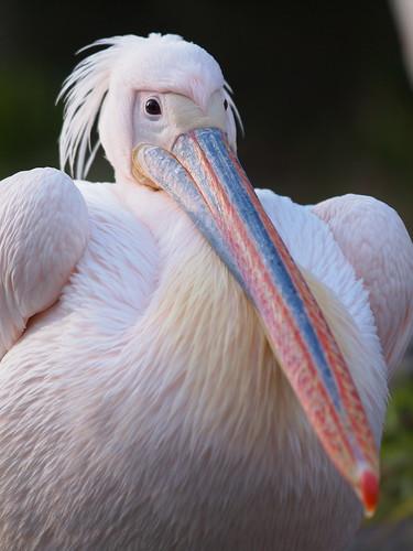 多摩動物公園 モモイロペリカン