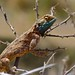 Small photo of Ground Agama (Agama aculeata)