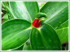 Closeup on flower bud of Costus woodsonii (Red Button Ginger, Scarlet Spiral Flag)