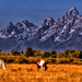 Horses grazing at the Tetons by Ronnie Wiggin