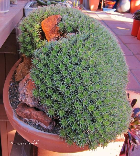 Abromeltiella brevifolia