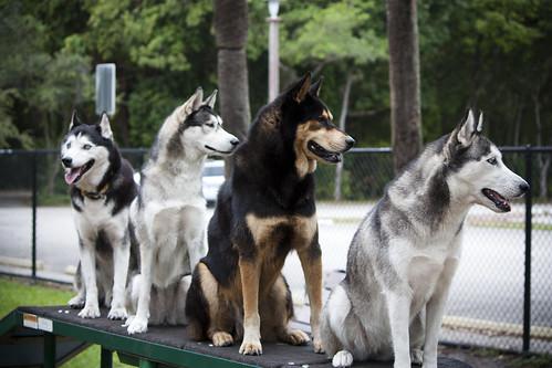 Florida Huskies and the NEW addition 9/5/13 - Page 5 6680147681_cffeffb9e9
