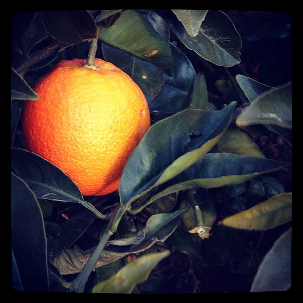 I love this tree. Oranges in winter fresh from the tree.