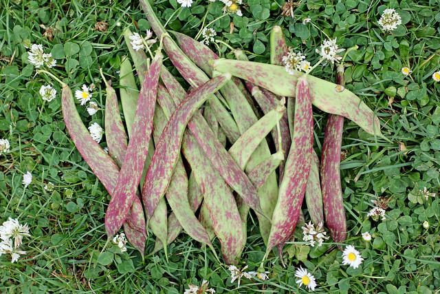 fresh garden beans