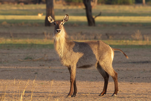 Golden Light Waterbuck