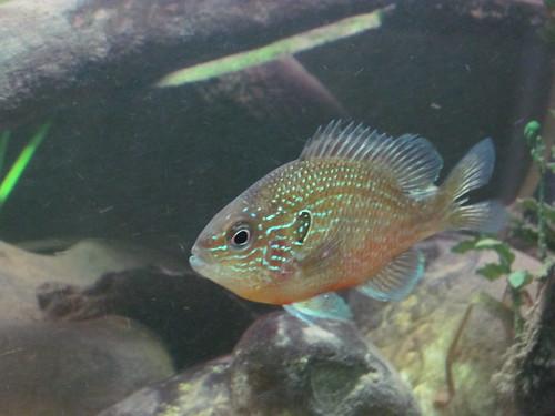 Western Dollar sunfish