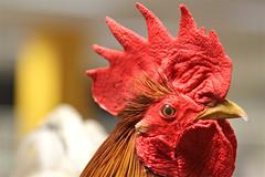 018/366 chicken