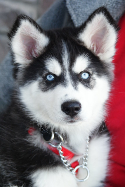 Huskies For Sale In West Palm Beach Florida