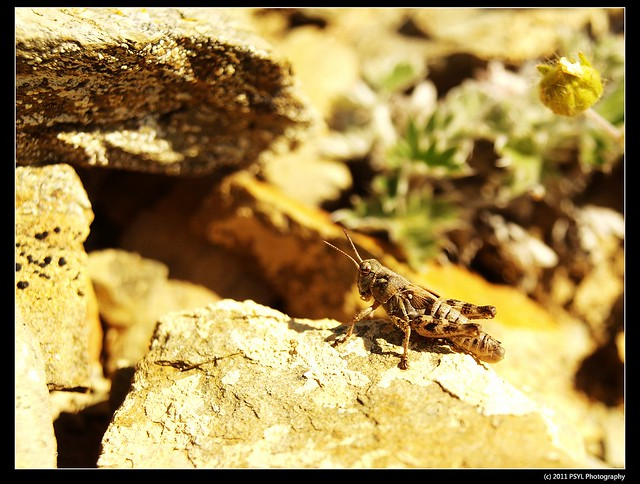 Nordic Mountain Grasshopper (Melanoplus frigidus) - male