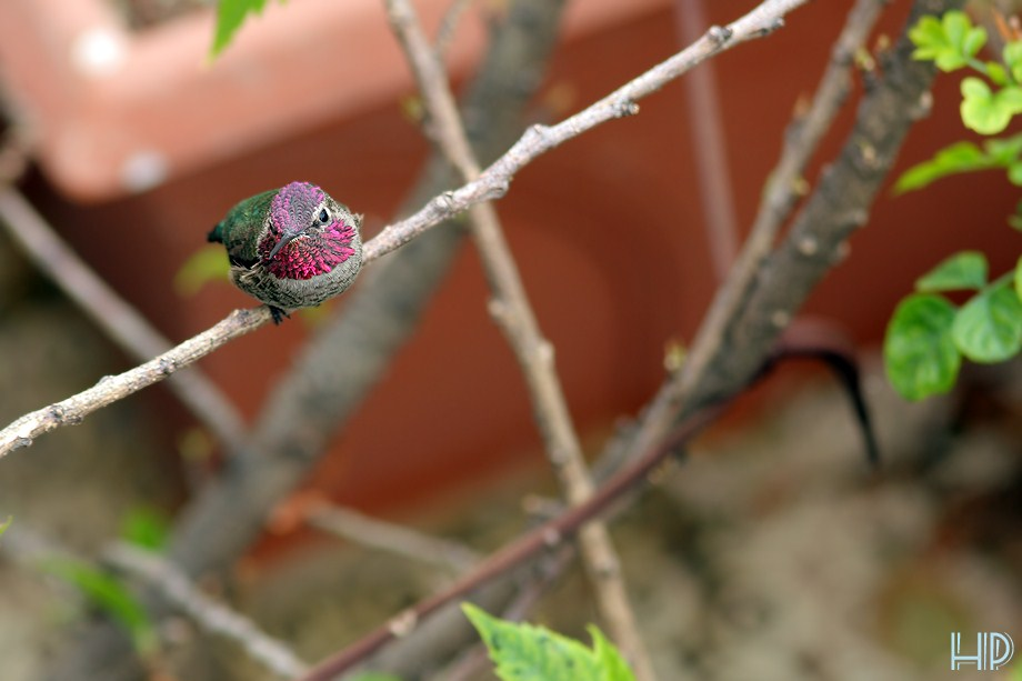 Anna's Hummingbird 012012-3