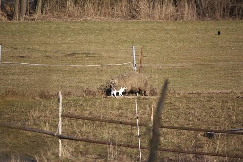 Schaf und Katze