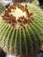 Cactus erizo
