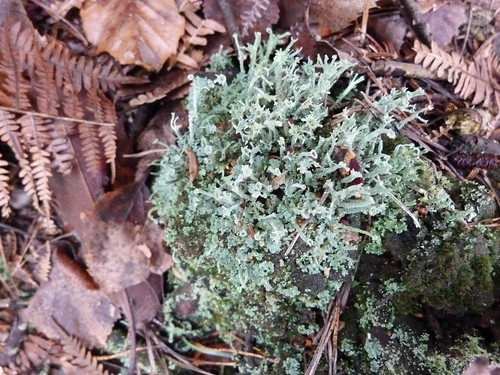 Lichen (Cladonia fimbriata) by Peter Orchard