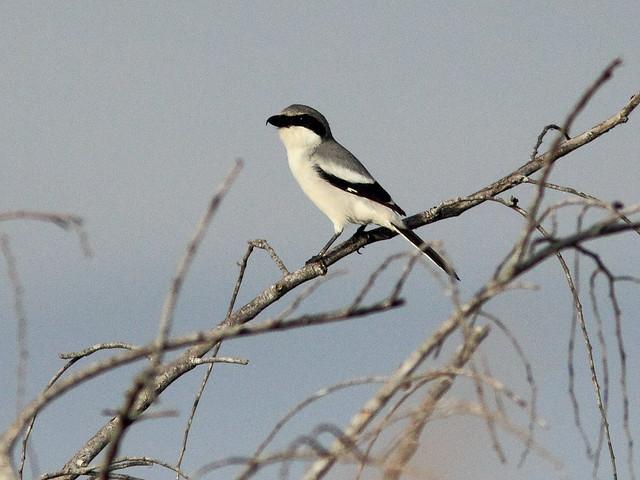 Loggerhead Shrike 20120127