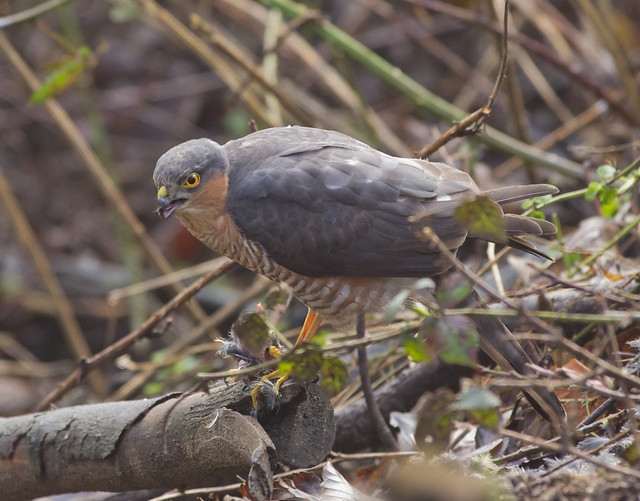 sparrowhawk with blue tit prey