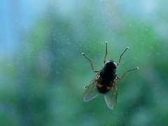 Bee on Glass