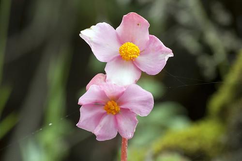 flora perù provincia ayacucho ocros