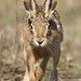 HARE66 by Stephen Durrant / Wildlife